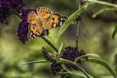 Painted lady on the purple flower of a butterfly-bush Stock Photo