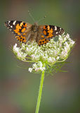 Painted Lady on Queen Ann's lace Stock Image