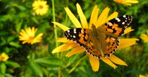 Painted Lady on Rudbeckia Fulgida. Vanessa Cardui butterfly called Cosmopolitan on Orange Coneflower flower. Photo in facebook advertisement format Royalty Free Stock Photos