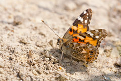 Painted lady sitting on the ground. Close up of a Painted Lady butterfly sitting on the ground Stock Images