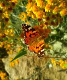 Painted lady on small yellow flowers royalty free stock photo