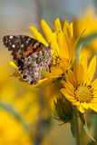 Painted Lady on 2 Sunflowers Stock Image