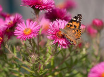 Painted Lady, Vanessa cardui Royalty Free Stock Photography