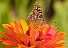 Painted  lady , Vanessa cardui Royalty Free Stock Image