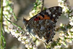 The Painted Lady (Vanessa cardui) Stock Images