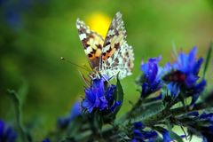 Painted Lady Vanessa cardui on blue Vipers Bugloss Echium vulgare. stock photo