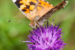 Painted lady / vanessa cardui Stock Image