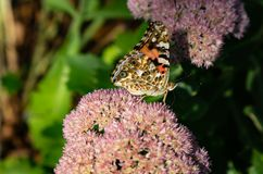 Painted lady Vanessa cardui butterfly with closed wings perching on sedum. Painted lady Vanessa cardui butterfly with closed wings perching on light pink sedum royalty free stock photo