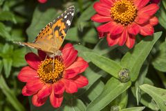 Painted Lady Vanessa Cardui Butterfly Royalty Free Stock Photos
