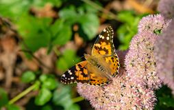 Painted lady Vanessa cardui butterfly with open wings perching on sedum. Painted lady Vanessa cardui butterfly with open wings perching on light pink sedum stock photos