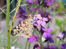 Painted Lady (Vanessa cardui) stock photos