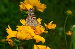 Painted Lady Vanessa cardui butterfly sucking nectar. On a Coreopsis flower royalty free stock photo