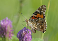 Painted Lady Royalty Free Stock Images