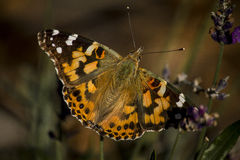 Painted Lady. (Vanessa cardui) in the garden Stock Photos