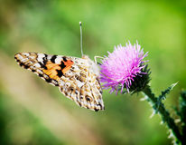 Painted lady (Vanessa cardui) on lila flower Stock Photography