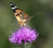 Painted lady (Vanessa cardui) on purple flower. Butterfly proboscis in action Stock Photography