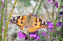 Painted Lady (Vanessa cardui) stock images