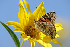 Painted Lady On Yellow Flower. American Painted Lady, Vanessa virginiensis, On Yellow Flower With Blue Sky Stock Photos