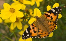 Painted lady on yellow flowers in summer. Painted lady sitting on yellow flowers in summer Royalty Free Stock Photo