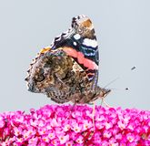 Painted laidy butterfly collecting nectar at a budleja blossom Royalty Free Stock Photos