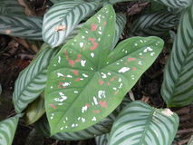 Painted leaf. Unusual leaf that looks as if it has been painted - in tropical rainforest St Lucia Stock Photo