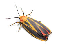 Painted Lichen Moth. Colorful Painted Lichen Moth (Hypoprepia fucosa) on a white background royalty free stock photos