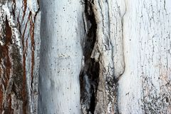 Painted in lime tree bark. Painted white tree bark with a crack royalty free stock photography