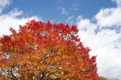 Painted maple tree Royalty Free Stock Photos