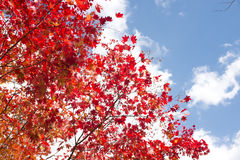 Painted maple tree Royalty Free Stock Images