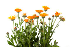 Almost painted marigold Royalty Free Stock Photography