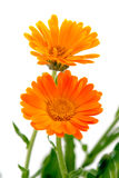 Almost painted marigold Stock Images