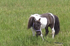 Painted Mini Grazing in the Field. Tiny mini horse grazing in the green meadow Stock Image