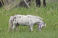 Painted Mini Grazing in the Field. Tiny mini spotted horse grazing in the green meadow Stock Photography