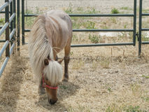 Painted Mini Standing Alone. Lone miniature horse with beautiful mane standing in his stall Royalty Free Stock Photos