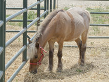 Painted Mini Standing Alone. Lone miniature horse standing in his stall Stock Images