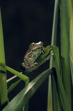 Painted monkey frog. In reed bed Stock Photo