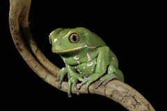Painted Monkey Frog Stock Photography