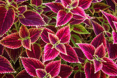 Painted Nettle Coleus background. Bright colored coleus leaves fill a space for a beautiful background Stock Images