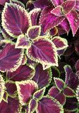 Painted Nettle or Coleus Stock Images