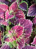 Painted Nettle or Coleus Royalty Free Stock Photo
