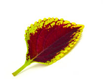 Painted nettle - coleus. Isolated on white background Royalty Free Stock Images