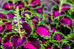 Painted nettle. Coleus or Painted Nettle on neature background stock images