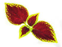 Painted nettle - coleus. On white background Royalty Free Stock Images