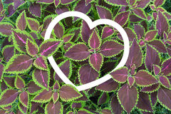 Painted nettle or  Flame nettle with heart shape frame Stock Image