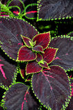 Painted nettle, Flame nettle leaves Royalty Free Stock Image