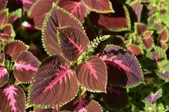 Painted nettle. Latin name - Plectranthus scutellarioides Solenostemon scutellarioides royalty free stock photo