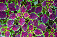 Painted nettle leaf Royalty Free Stock Images