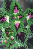 Painted nettle stock photography