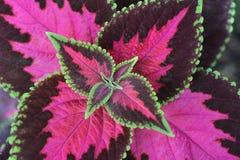 Painted nettle. Leaves - Latin name - Plectranthus scutellarioides Solenostemon scutellarioides stock photography