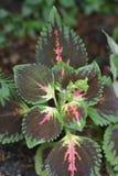 Painted nettle. Leaves - Latin name - Plectranthus scutellarioides Solenostemon scutellarioides stock images